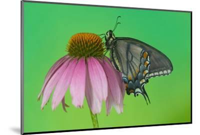 Black Form of Eastern Tiger Swallowtail Butterfly-Darrell Gulin-Mounted Photographic Print