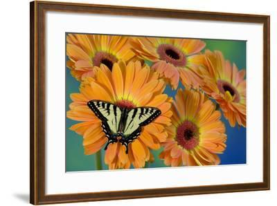 Canadian Tiger Swallowtail Butterfly-Darrell Gulin-Framed Photographic Print