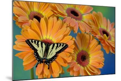 Canadian Tiger Swallowtail Butterfly-Darrell Gulin-Mounted Photographic Print