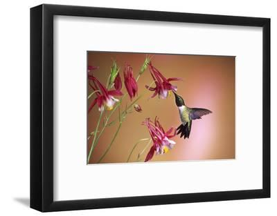Ruby-Throated Hummingbird Male on Crimson Star Columbine, Illinois-Richard and Susan Day-Framed Photographic Print