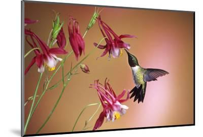 Ruby-Throated Hummingbird Male on Crimson Star Columbine, Illinois-Richard and Susan Day-Mounted Photographic Print