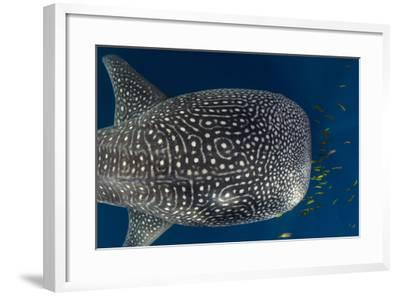 Whale Shark and Golden Trevally, Cenderawasih Bay, West Papua, Indonesia-Pete Oxford-Framed Photographic Print