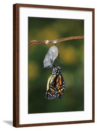 Monarch Pupa, Chrysalis before Emergence Marion County, Illinois-Richard and Susan Day-Framed Photographic Print