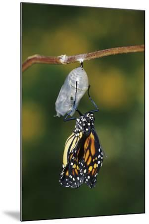 Monarch Pupa, Chrysalis before Emergence Marion County, Illinois-Richard and Susan Day-Mounted Photographic Print