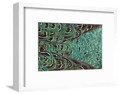 Variations on Feather Colors of the Ring-Necked Pheasant-Darrell Gulin-Framed Photographic Print