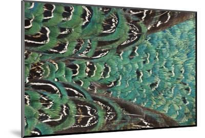 Variations on Feather Colors of the Ring-Necked Pheasant-Darrell Gulin-Mounted Photographic Print