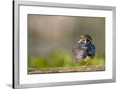 Washington, Male Wood Duck Stretches While Perched on a Log in the Seattle Arboretum-Gary Luhm-Framed Photographic Print