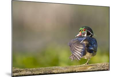 Washington, Male Wood Duck Stretches While Perched on a Log in the Seattle Arboretum-Gary Luhm-Mounted Photographic Print