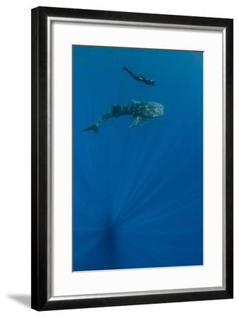 Whale Shark and Tourist. Cenderawasih Bay, West Papua, Indonesia-Pete Oxford-Framed Photographic Print