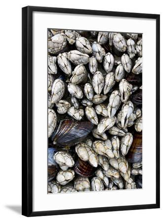 Washington, Olympic National Park. Gooseneck Barnacles and Clams-Jaynes Gallery-Framed Photographic Print