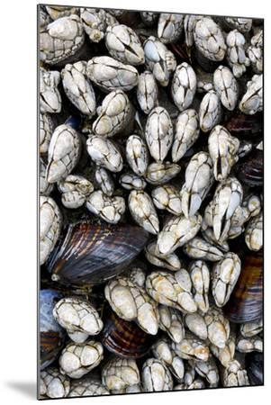 Washington, Olympic National Park. Gooseneck Barnacles and Clams-Jaynes Gallery-Mounted Photographic Print