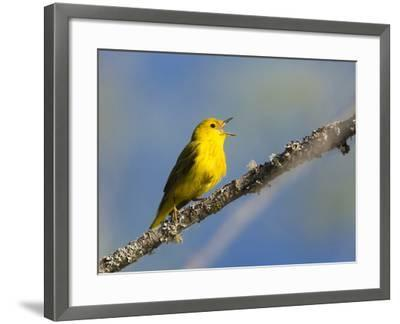 Washington, Male Yellow Warbler Sings from a Perch, Marymoor Park-Gary Luhm-Framed Photographic Print