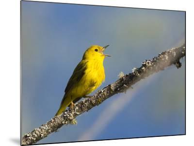 Washington, Male Yellow Warbler Sings from a Perch, Marymoor Park-Gary Luhm-Mounted Photographic Print
