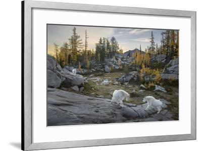 Washington, Mountain Goat Family Near Horseshoe Lake in the Alpine Lakes Wilderness-Gary Luhm-Framed Photographic Print