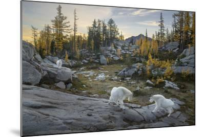 Washington, Mountain Goat Family Near Horseshoe Lake in the Alpine Lakes Wilderness-Gary Luhm-Mounted Photographic Print