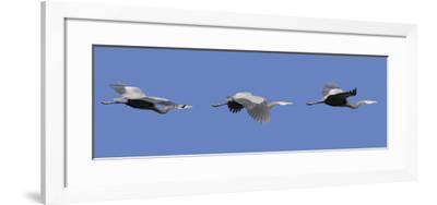 Washington, Redmond, Great Blue Heron-Jamie And Judy Wild-Framed Photographic Print