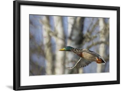 Washington, Mallard Drake in Flight-Gary Luhm-Framed Photographic Print