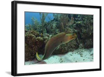 Green Moray, Hol Chan Marine Reserve, Ambergris Caye, Belize-Pete Oxford-Framed Photographic Print