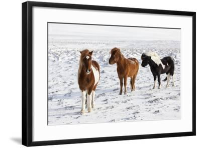 Icelandic Horse with Typical Winter Coat, Iceland-Martin Zwick-Framed Photographic Print