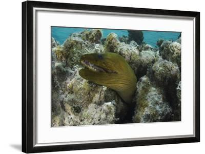 Green Moray, Lighthouse Reef, Atoll, Belize-Pete Oxford-Framed Photographic Print