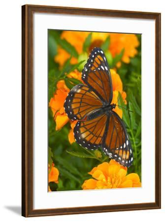 Viceroy Butterfly a Mimic of the Monarch Butterfly-Darrell Gulin-Framed Photographic Print