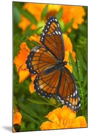 Viceroy Butterfly a Mimic of the Monarch Butterfly-Darrell Gulin-Mounted Photographic Print