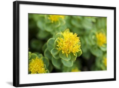 Greenland, Sydkapp, the Roseroot Aka King's Crown, Perennial Flowering Plant-Aliscia Young-Framed Photographic Print
