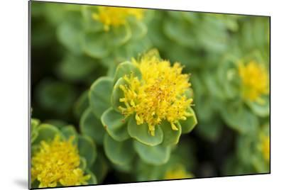 Greenland, Sydkapp, the Roseroot Aka King's Crown, Perennial Flowering Plant-Aliscia Young-Mounted Photographic Print