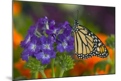 Monarch Butterfly-Darrell Gulin-Mounted Photographic Print