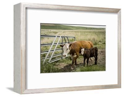 Palouse, Snake River Expedition, Pioneer Stock Farm, Cows at Pasture Gate-Alison Jones-Framed Photographic Print