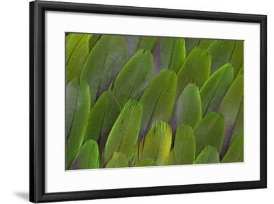 Green Wing Feathers of a Parrot-Darrell Gulin-Framed Photographic Print