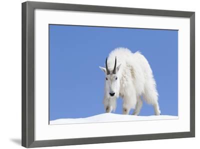 Washington, Alpine Lakes Wilderness, Mountain Goat, Billy Goat, Male-Jamie And Judy Wild-Framed Photographic Print