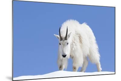 Washington, Alpine Lakes Wilderness, Mountain Goat, Billy Goat, Male-Jamie And Judy Wild-Mounted Photographic Print