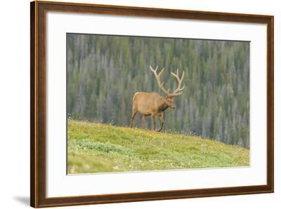 USA, Colorado, Rocky Mountain National Park. Bull Elk in Velvet Walking-Jaynes Gallery-Framed Photographic Print