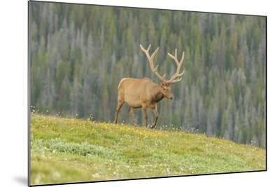 USA, Colorado, Rocky Mountain National Park. Bull Elk in Velvet Walking-Jaynes Gallery-Mounted Photographic Print