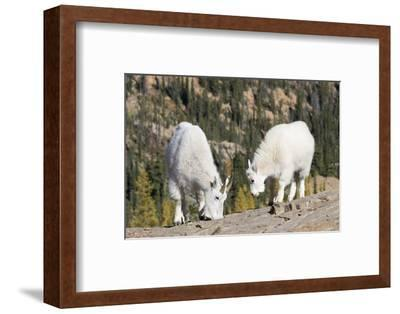 Washington, Alpine Lakes Wilderness, Mountain Goats, Nanny and Kid-Jamie And Judy Wild-Framed Photographic Print