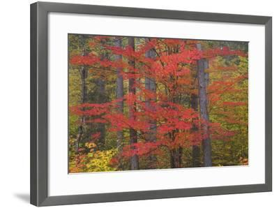 Red Tree and Fall Color Schoolcraft County, Upper Peninsula, Michigan-Richard and Susan Day-Framed Photographic Print