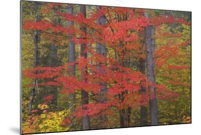 Red Tree and Fall Color Schoolcraft County, Upper Peninsula, Michigan-Richard and Susan Day-Mounted Photographic Print