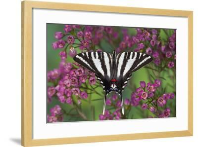 Zebra Swallowtail, North American Swallowtail Butterfly-Darrell Gulin-Framed Photographic Print