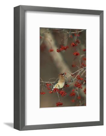 Cedar Waxwing Eating Hawthorn Berry Sangomon Co. Illinois-Richard and Susan Day-Framed Photographic Print