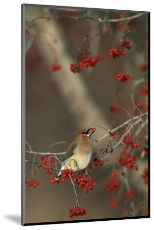Cedar Waxwing Eating Hawthorn Berry Sangomon Co. Illinois-Richard and Susan Day-Mounted Photographic Print