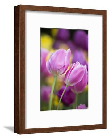 Pink, Yellow, and Purple Tulips, Chicago Botanic Garden, Glencoe, Illinois-Richard and Susan Day-Framed Photographic Print