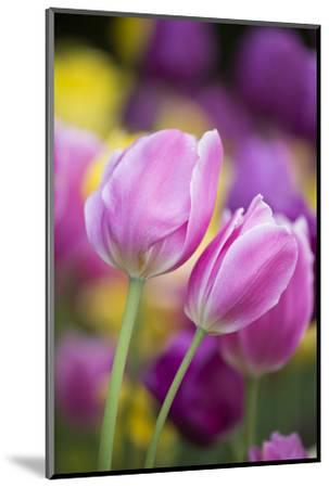Pink, Yellow, and Purple Tulips, Chicago Botanic Garden, Glencoe, Illinois-Richard and Susan Day-Mounted Photographic Print