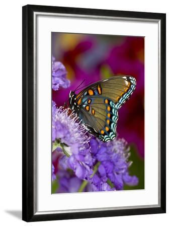 Red-Spotted Purple Butterfly-Darrell Gulin-Framed Photographic Print