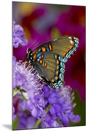 Red-Spotted Purple Butterfly-Darrell Gulin-Mounted Photographic Print