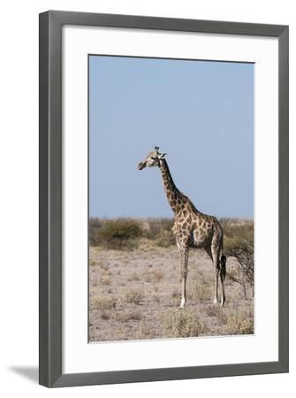 Southern Giraffe, Central Kalahari National Park, Botswana-Sergio Pitamitz-Framed Photographic Print