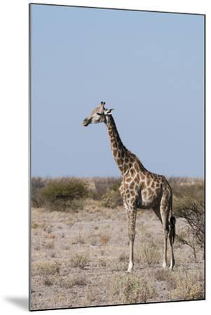 Southern Giraffe, Central Kalahari National Park, Botswana-Sergio Pitamitz-Mounted Photographic Print