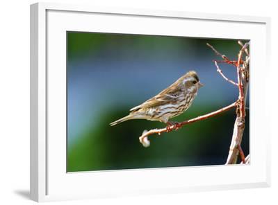 Purple Finch-Richard Wright-Framed Photographic Print