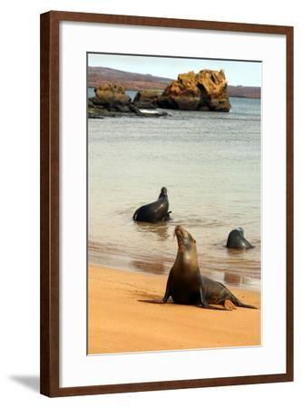 Three Galapagos Sea Lions Play on the Shore of Bartholomew Island. Ecuador, South America-Kymri Wilt-Framed Photographic Print
