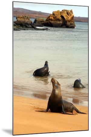 Three Galapagos Sea Lions Play on the Shore of Bartholomew Island. Ecuador, South America-Kymri Wilt-Mounted Photographic Print